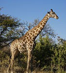 Почему у жирафа шея длинная