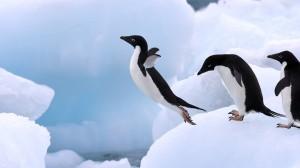 Pingvinyi Почему пингвины не летают (сказка).